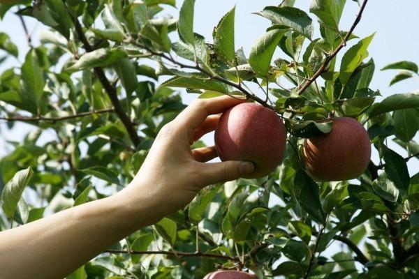Apfel Äpfel gesund - mit der Hand nehmen
