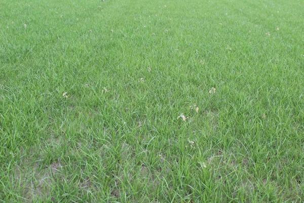 Gartengestaltung tipps - heller Rasen