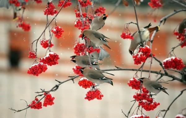 vogelbeere eberesche vogel essen gerne