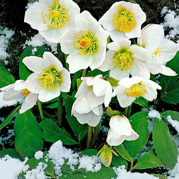 winterharte balkonpflanzen Helleborus niger christrose