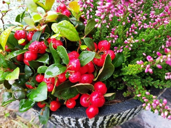 winterharte balkonpflanzen scheinbeere Gaultheria procumbens