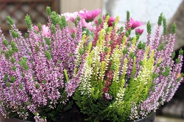 winterharte balkonpflanzen schneeheide erica carnea