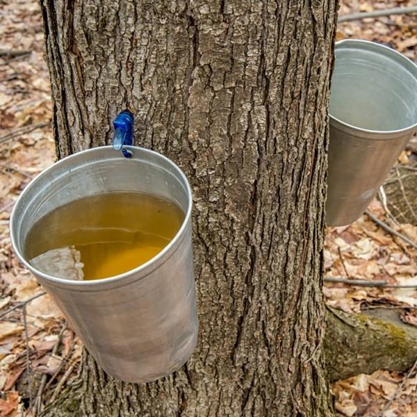 Ahornsirup Herstellung Ahornbaum Wald Ahornsaft zapfen