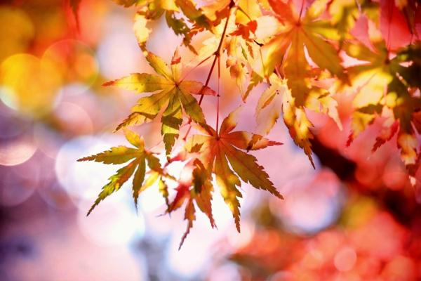 Ahornsirup Herstellung roter Ahornbaum Blätter