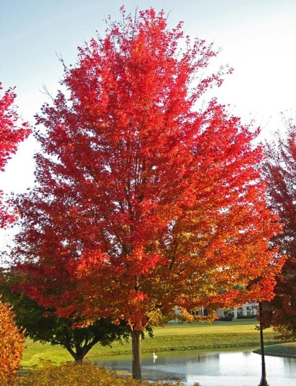 Ahornsirup Herstellung roter Ahornbaum Park