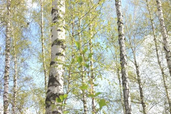 Birkenwasser Wirkung Birken Frühling Birkensaft gesund