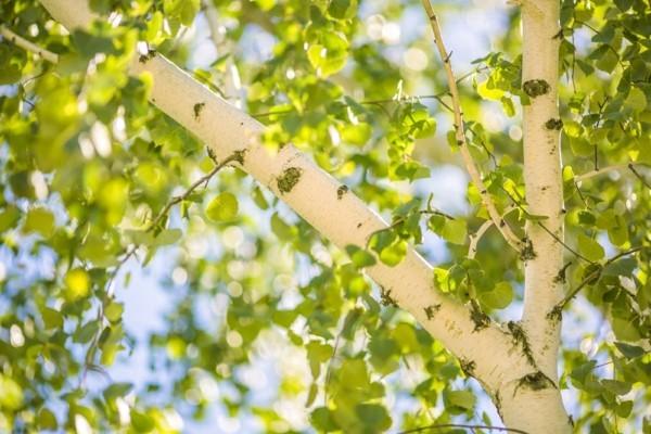 Birkenwasser trinken Wirkung Birken Birkensaft gesundheitliche Vorteile