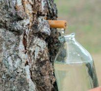 Birkenwasser: Wann und wie wird das Naturelexier geerntet und wieso wird es so hoch geschätzt?