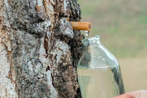 Birkenwasser zapfen Frühling Birkensaft Wirkung Birke Wald