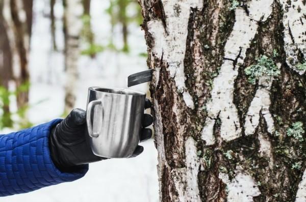 Birkenwasser zapfen Birken Frühling Spätwinter Birkensaft Wirkung