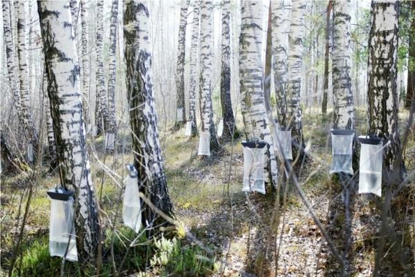 Birkenwasser zapfen Birkenbäume Wald Frühling Birkensaft Wirkung
