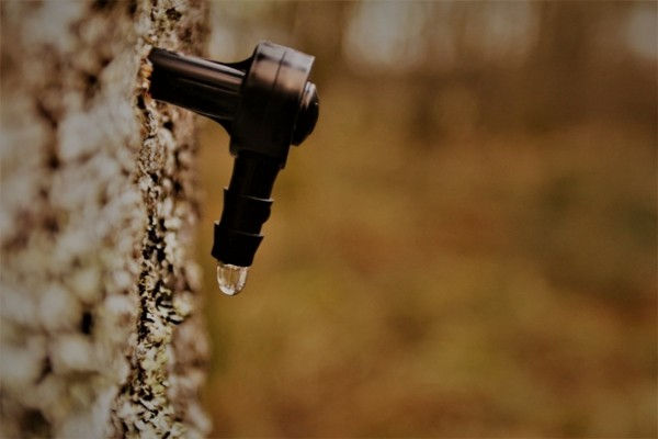 Birkenwasser zapfen Birkenwasser trinken Birkensaft Wirkung