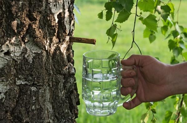 Birkenwasser zapfen Trendgetränk gesundBirkensaft Wirkung