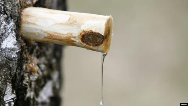 Birkenwasser zapfen gesundheitliche Vorteile Birkensaft Wirkung