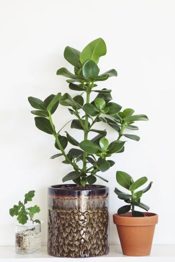 Clusia Rosea Autogrammbaum Balsamapfel Topfpflanze