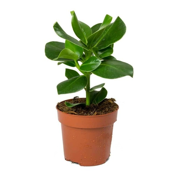 Clusia Rosea Autogrammbaum Balsamapfel Zimmerpflanzen
