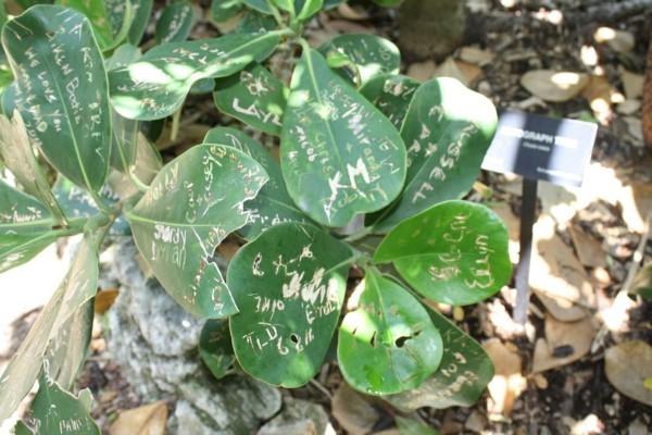 Clusia Rosea Autogrammbaum Blätter botanischer Garten