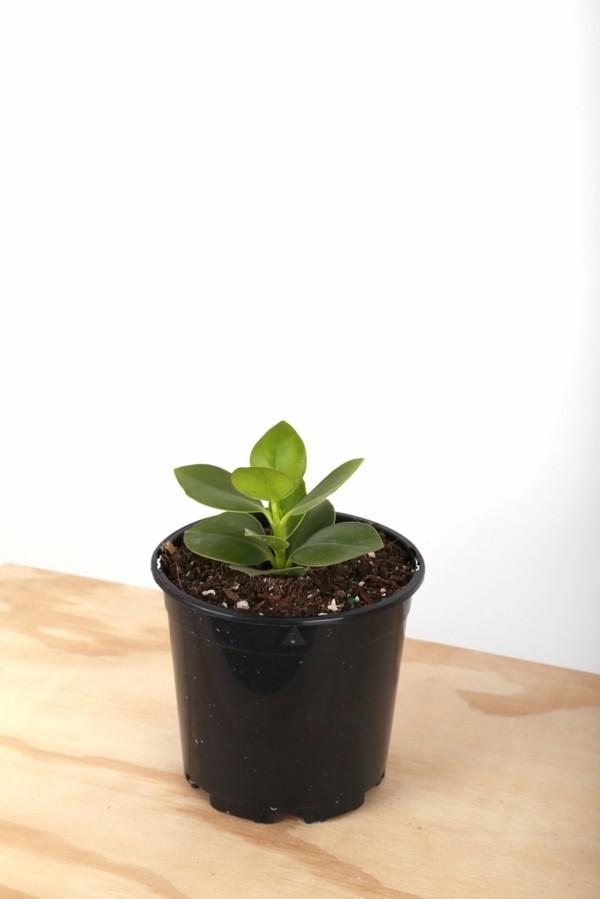 Clusia Rosea Autogrammbaum kleine Topfpflanze Steckling