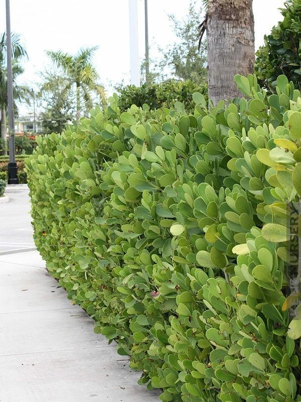 Clusia Rosea Gartenpflanzen Autogrammbaum als Hecke lebendiger Zaun