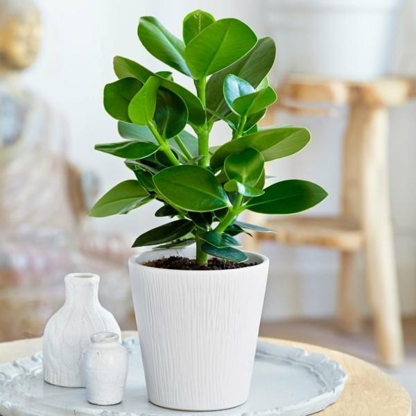 Clusia Rosea Topfpflanze Dekoartikel Autogrammbaum