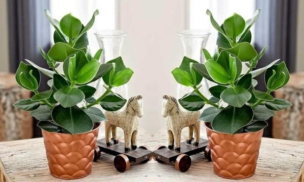 Clusia Rosea Topfpflanze Dekoration Ideen Autogrammbaum Zimmerpflanze