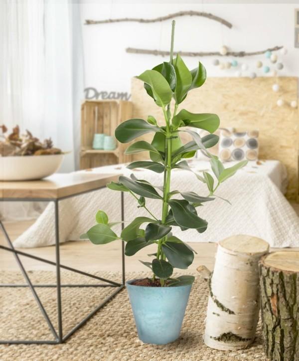 Clusia Rosea Topfpflanze natürliche Dekoartikel Holz Rattan Autogrammbaum