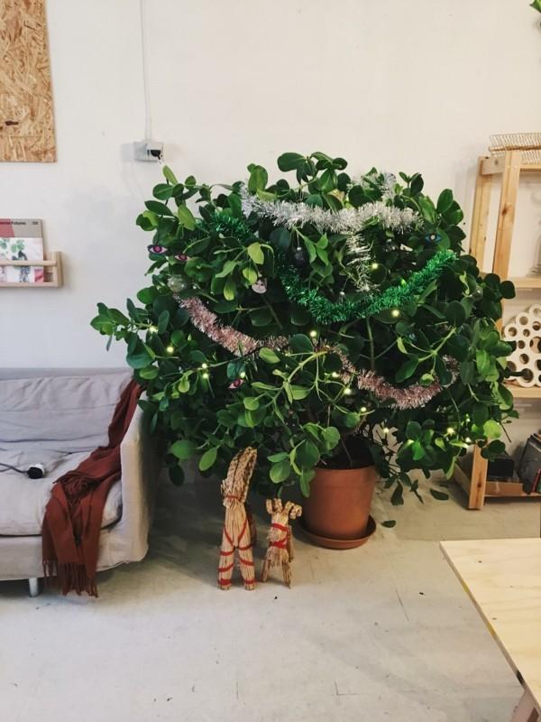 Clusia Rosea Zierbaum Zimmerpflanze Weihnachtsbaum