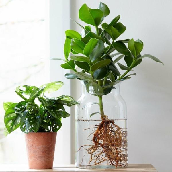 Clusia Rosea Zimmerpflanzen pflegeleicht Balsamapfel