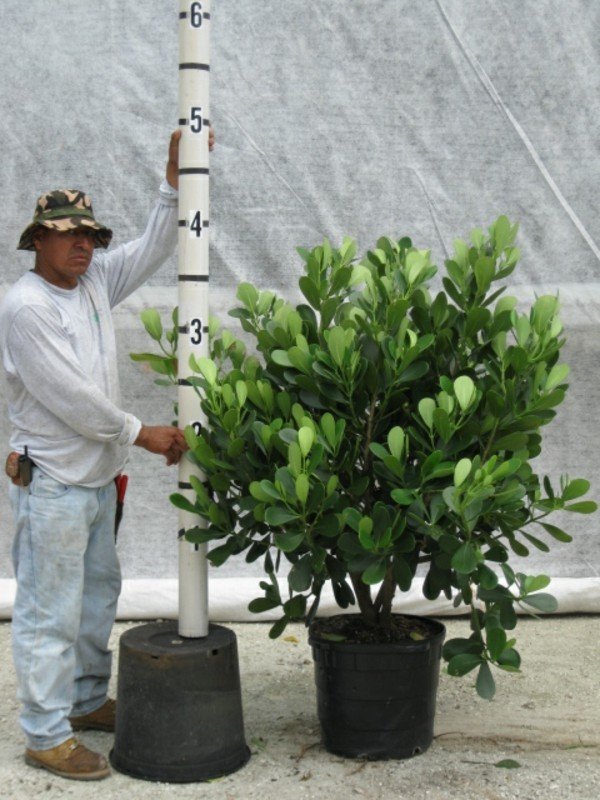 Clusia Rosea große Topfpflanze Zierbaum Autogrammbaum