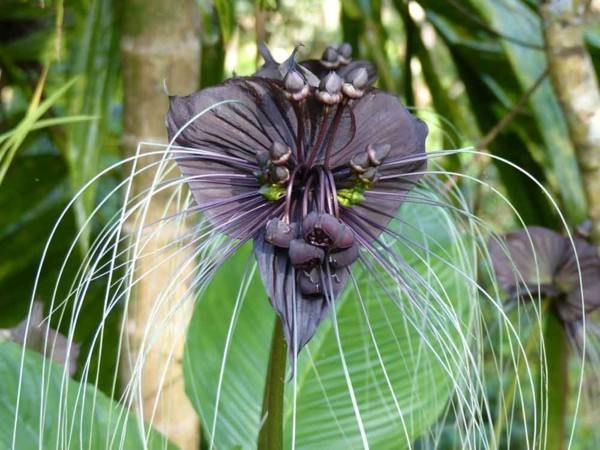Fledermausblume Tacca Chantrieri Winterblüher Dchungelpflanze