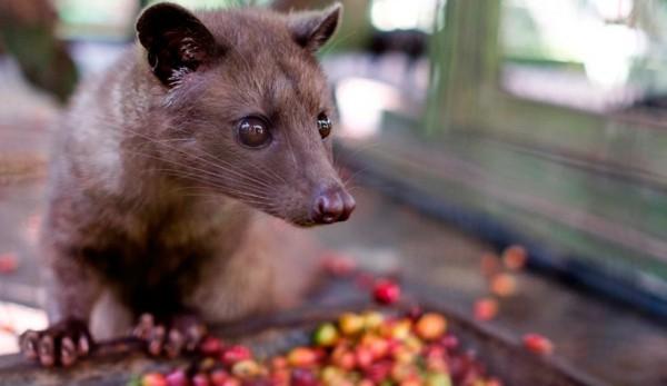 Kopi Luwak Kaffee Katzenkaffee der teuerste Kaffee der Welt Kaffeekirschen Fleckenmusang