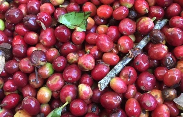 Kopi Luwak Kaffee Katzenkaffee der teuerste Kaffee der Welt Kaffeepflanze Kaffeekirschen