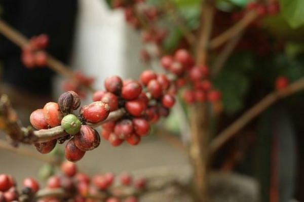 Kopi Luwak Kaffee Katzenkaffee der teuerste Kaffee der Welt Kaffeepflanze