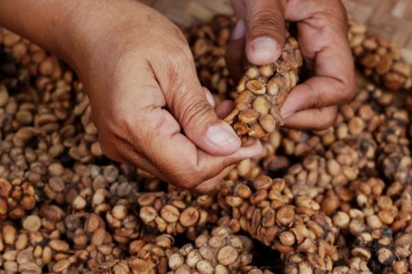 Kopi Luwak Kaffee Katzenkaffee teuerster Kaffee Kackkaffee