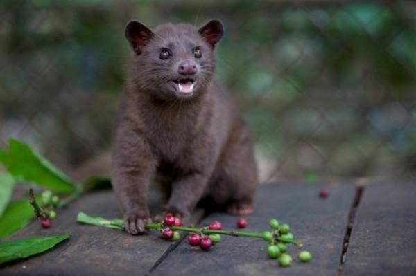 Kopi Luwak Kaffee kaufen Katzenkaffee teuerster Kaffee wilde Schleichkatze Kaffeekirschen