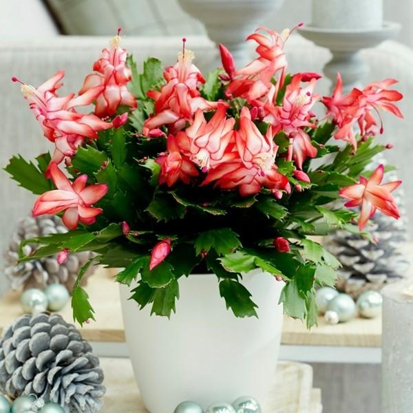 Winterblüher Weihachtskaktus Zimmerpflanze Blüten Tannenzapfen