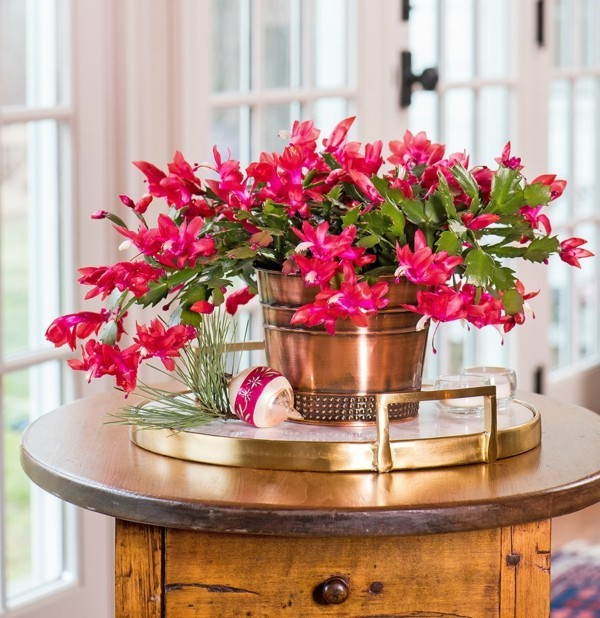 Winterblüher Weihachtskaktus Zimmerpflanze Blüten Winterpflanzen
