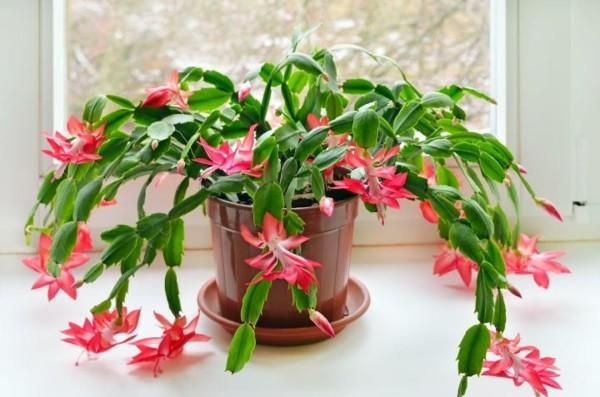 Winterblüher Weihachtskaktus rote Blüten Winterblume