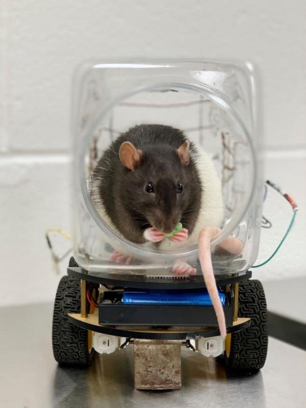 Wissenschaftler haben Ratten beigebracht winzige Autos zu fahren fancy ratte fährt auto für müsli