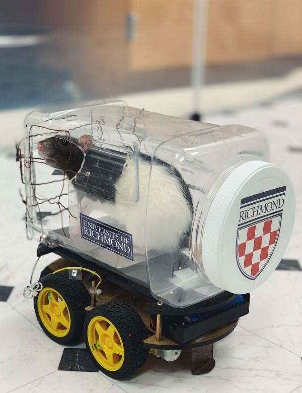 Wissenschaftler haben Ratten beigebracht winzige Autos zu fahren niedliche rate fährt auto im experiment