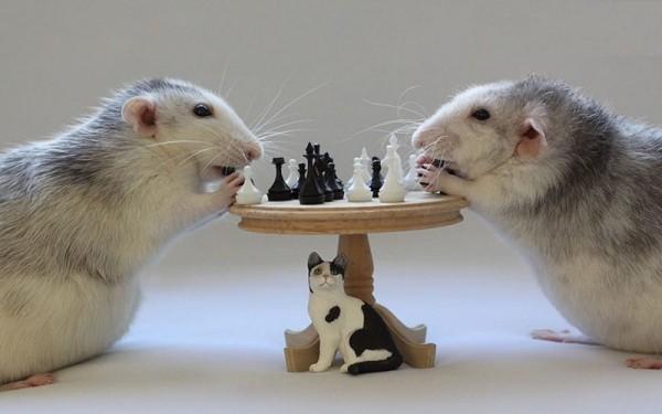 Wissenschaftler haben Ratten beigebracht winzige Autos zu fahren süße raten spielen schach