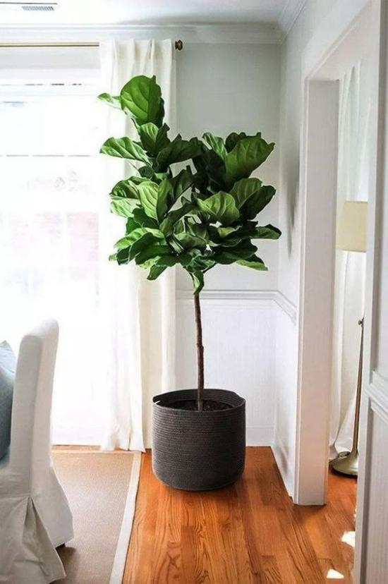 Akzente im Interieur setzen grüne Zimmerpflanzen Geigenfeige pflegeleicht sehr beliebt