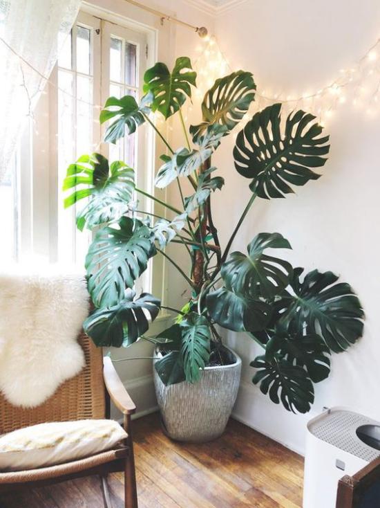 Akzente im Interieur setzen hohe Monstera in der Zimmerecke Blickfang sattgrüne große Blätter