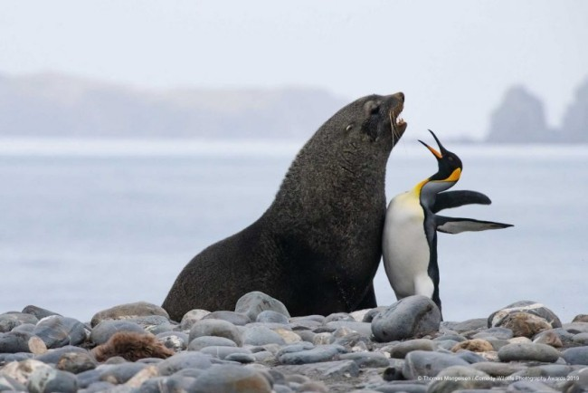 Comedy Wildlife Photography Awards 2019 – Hier die Gewinnerfotos chest bump nordpol penguin löwe