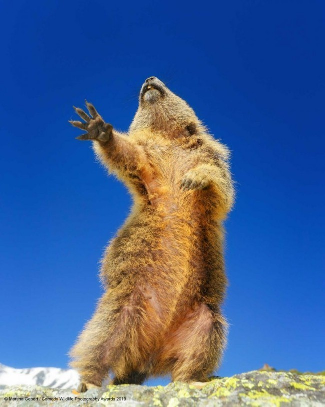Comedy Wildlife Photography Awards 2019 – Hier die Gewinnerfotos dancing yeah murmeltier