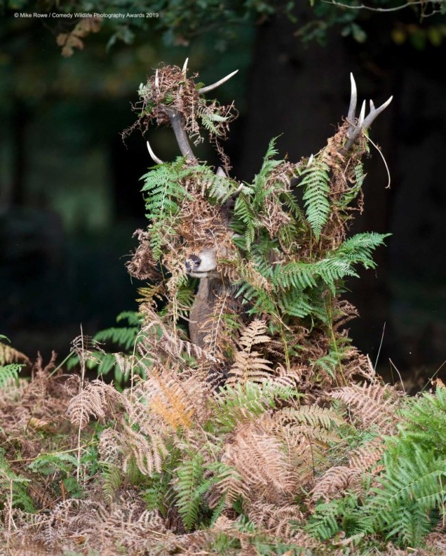 Comedy Wildlife Photography Awards 2019 – Hier die Gewinnerfotos deer what deer lustiger hirsch