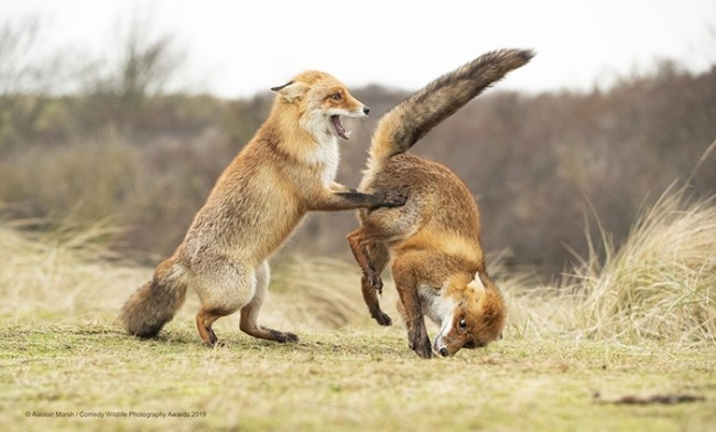 Comedy Wildlife Photography Awards 2019 – Hier die Gewinnerfotos waltz gone wrong lustige niedliche füchse