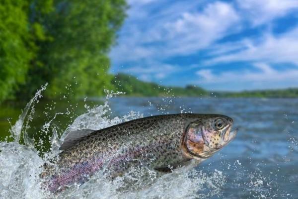 Forelle grillen gesunde Ernährung Kaltwasserfisch