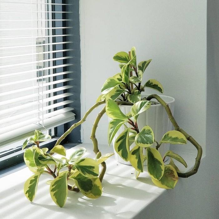 Grüne Glücksbringer Efeu auf der Fensterbank schöne Blattfärbung toller Blickfang