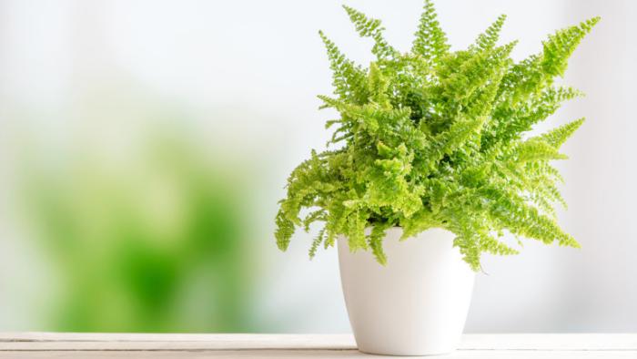 Grüne Glücksbringer Farn beliebte Zimmerpflanze bringt Glück ins Haus